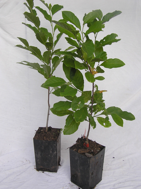 potted seedlings